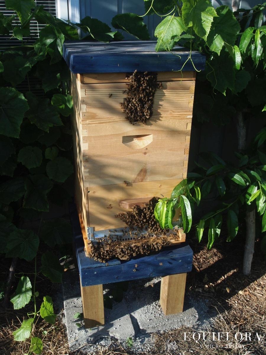 A busy springtime hive.