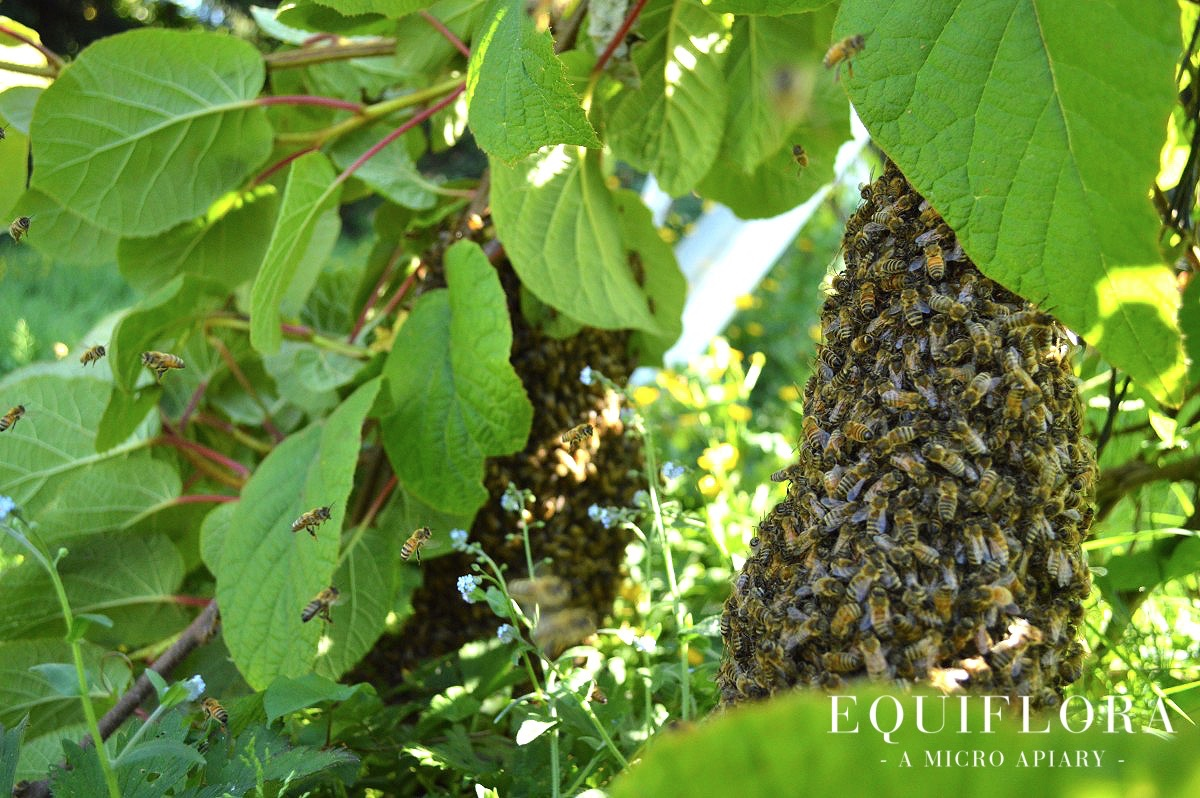 A large swarm that has formed two distinct clusters in the kiwi vine.