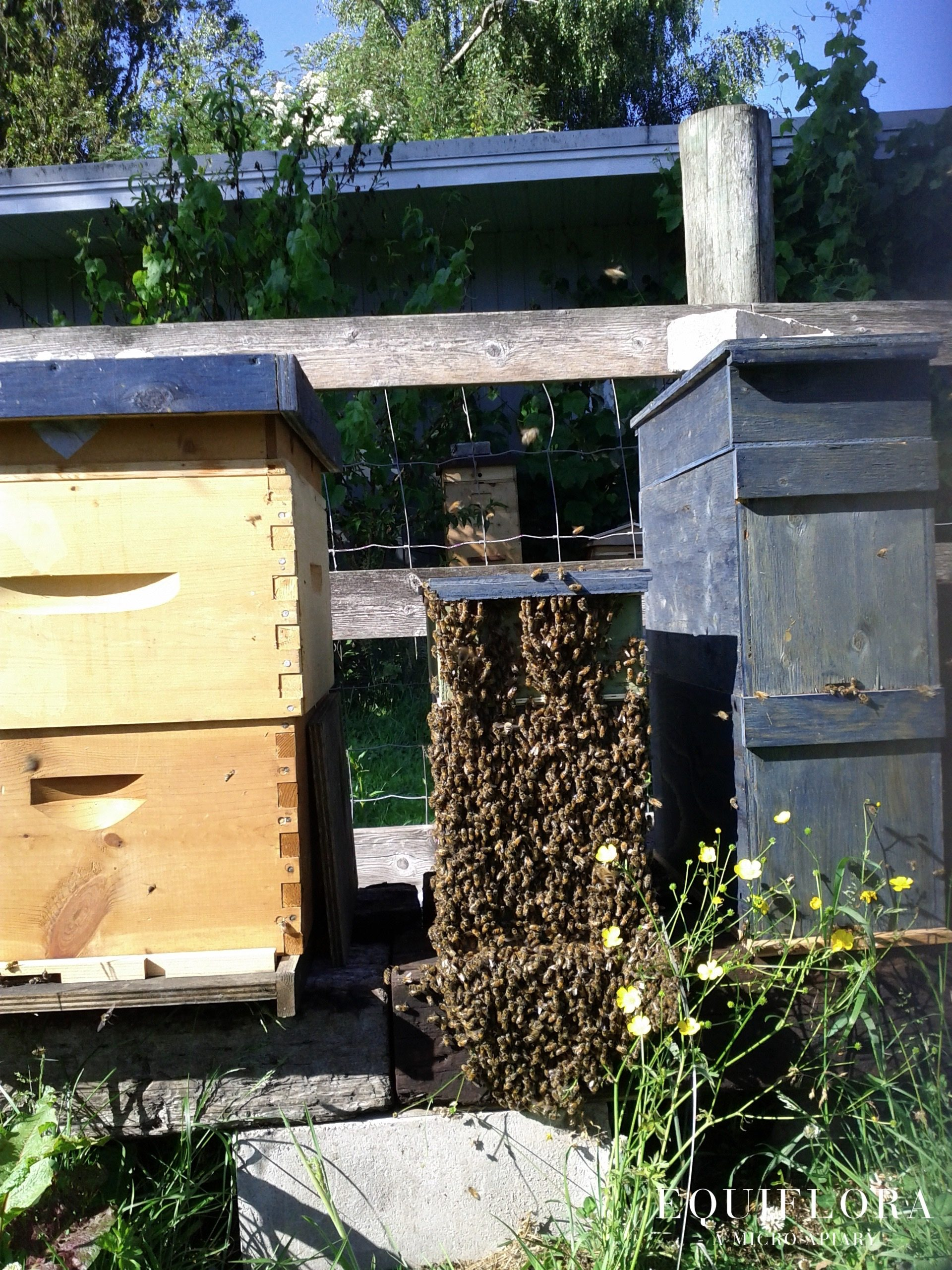 This nuc colony has grown too big for its home.